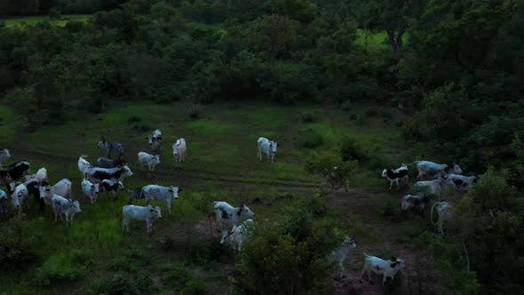 Thumbnail for Africa Mali Forest And Ox Aerial View