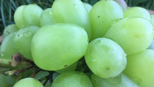 Dew On Green Grapes.