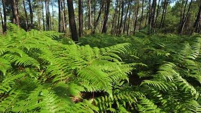 The Landes forest, Nouvelle Aquitaine, France.