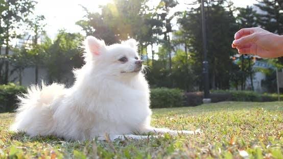Pomeranian dog at outdoor park