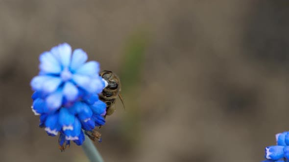 Thumbnail for Bee on the Muscari Flower