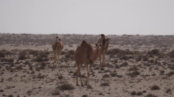 Thumbnail for Herd of dromedary camels in the Western Sahara, Africa
