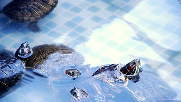 Thumbnail for Animal Reptile Aquatic Water Turtle in a Water Pool