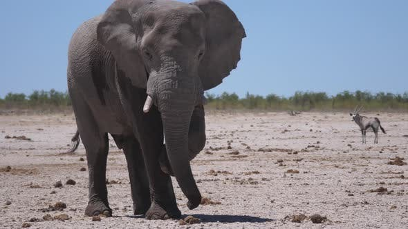 Thumbnail for Lonely big elephant on a dry savanna