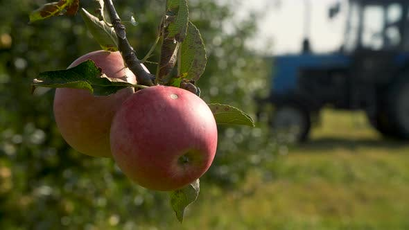 Cover Image for Tractor Harvesting Apples in an Orchard