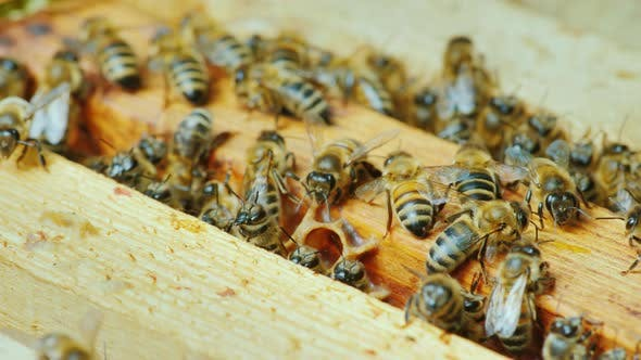 Thumbnail for A Large Hive of Bees Is Working Together To Collect Honey in the Garden