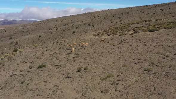 Aerial view that approaches a group of wild lamas or vicunas in the mountains of south america