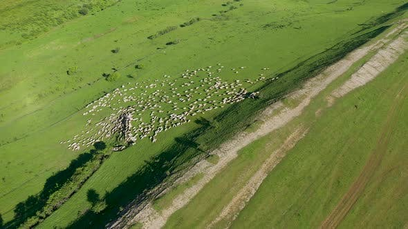 Aerial View of a Herd of Sheep