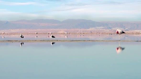Thumbnail for Flamingos On The Lake In The Atacama Desert (Chile).