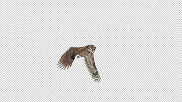 Owl - Spotted - Flying Transition II