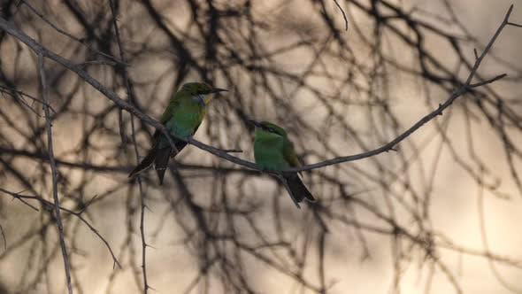 Two Bee-eaters on a tree branch around Grootfontein in Namibia