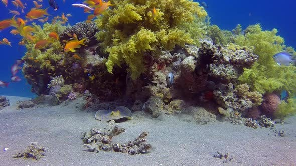 Thumbnail for Underwater Colorful Tropical Reef with Stingray