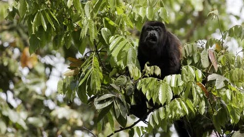 Mantled Howler Monkey Male Adult Lone Looking Around in Panama