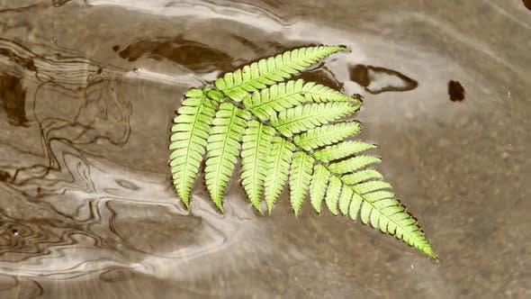 Thumbnail for Fern Leaf Drifting