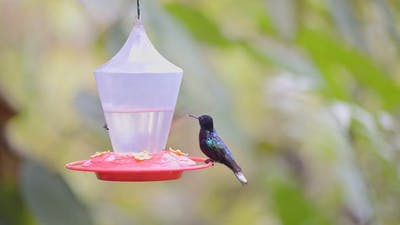 A Flock Of Velvet-Purple Coronet Hummingbirds Resting On The Hanging Bird Feeder In The Cloud Forest