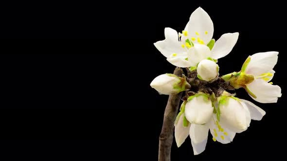 Almond Blossom Timelapse Isolated 8