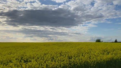 Field of Blooming Rapeseed under Rain Clouds