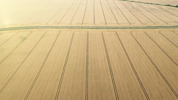 Cover Image for Aerial Video Flying Over Yellow Grain Wheat Field