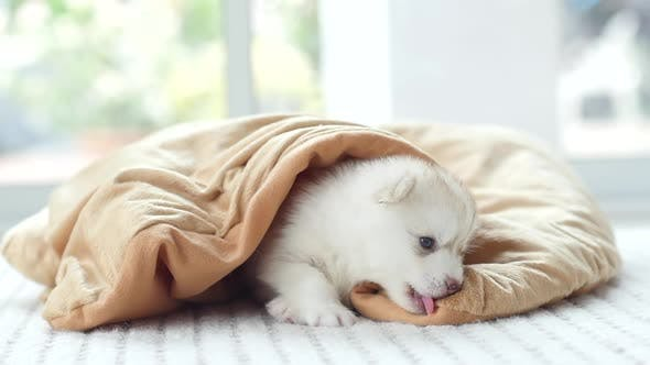 Cute Siberian Husky Puppy Playing Under Blanket