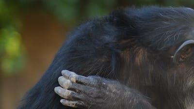 Hand of Chimpanzee