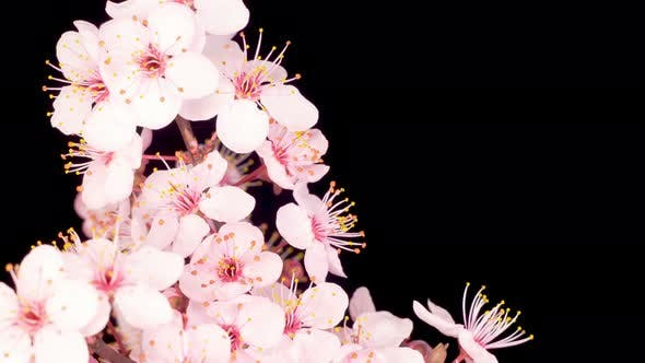 Thumbnail for Pink Flowers Blossoms on the Branches Cherry Tree