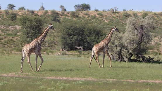 Thumbnail for cute Giraffes in love, South Africa wildlife