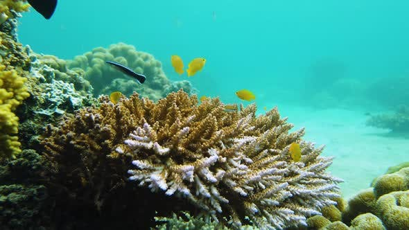 Thumbnail for Coral Reef and Tropical Fish Underwater. Leyte, Philippines