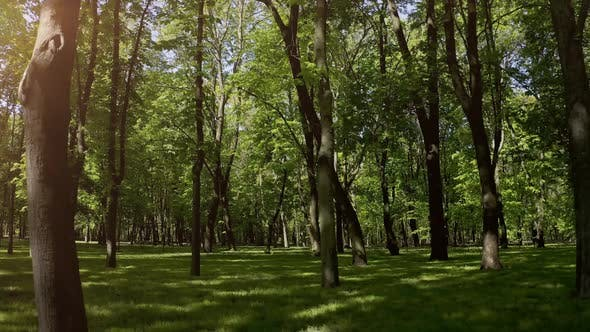 Thumbnail for Walking Through Summer Forest in the Morning. Slowly Panning Across a Park at Sunrise