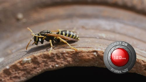 Wasp Over an Amphora