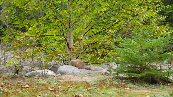 Thumbnail for Wide Shot Showing A Ground Hog Sitting On Rocks In Front Of A Birch Tree
