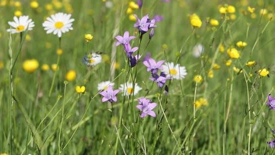 weiße Marguerite Blüten in Wiese