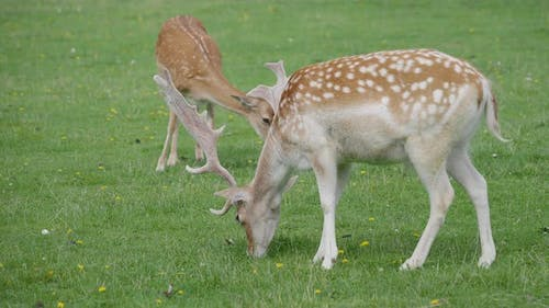 Sika Deer, Cervus Nippon Also Known As the Spotted Deer or the Japanese Deer. Ruminant Mammal Is