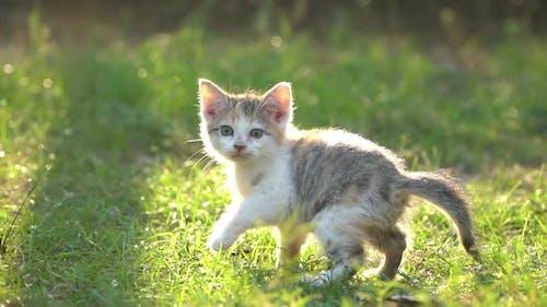 Cute Persian Kitten Walking In The Park Under Sunlight