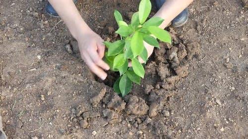 Hands Man Planting Tree