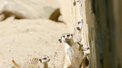 Flock of meerkats look to up
