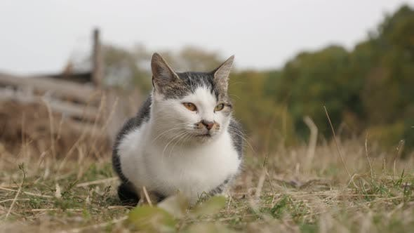 Thumbnail for Felis catus gray and white animal  enjoying nice weather 4K 3840X2160 UHD footage - Oudoor domestic