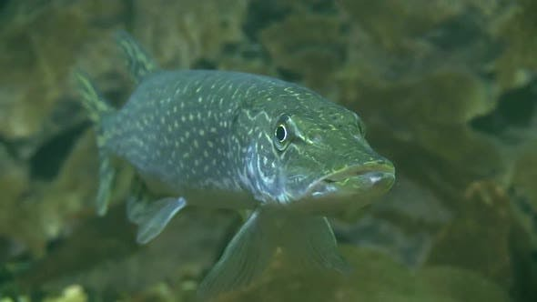 Thumbnail for Underwater of Northern Pike Fish Resting Looking at Camera