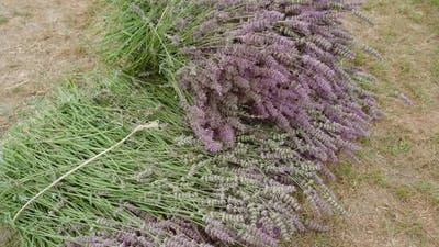 Green Bouquets with Lavender on the Field