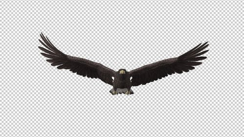 Eurasian White-tailed Eagle - Flying Loop - Front View