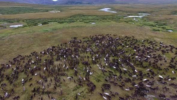 Thumbnail for Reindeer Run On Tundra In Autumn
