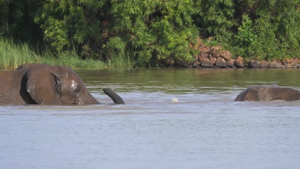 Thumbnail for Elephants fighting in a lake at Pilanesberg