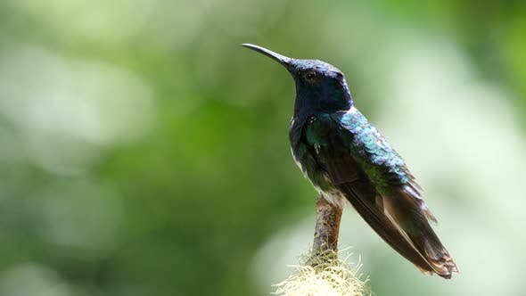 Thumbnail for White-Necked Jacobin Bird Next to Its Nest in the Forest