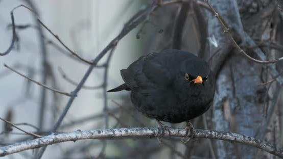 Thumbnail for Starling Sits on a Branch in a Winter Forest. Black Bird Has a Funny and Scowling Look.