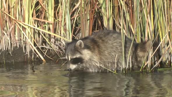 Thumbnail for Raccoon Foraging Looking For Food Probing Autumn in LaCreek National Wildlife Refuge South Dakota
