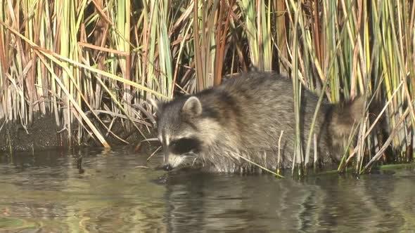 Raccoon Foraging Looking For Food Probing Autumn in LaCreek National Wildlife Refuge South Dakota