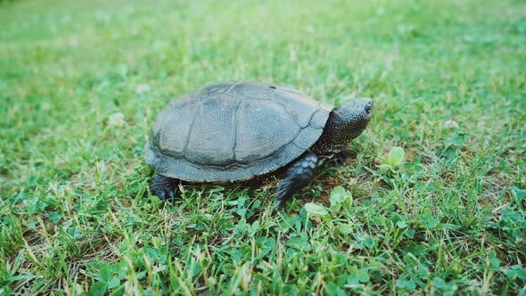 Thumbnail for Turtle Slowly Feeding on Green Grass