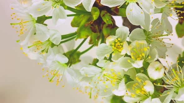 Thumbnail for Cherry Blossom Timelapse on White