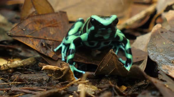 Thumbnail for Green and Black Poison Dart Frog in its Natural Habitat in the Caribbean