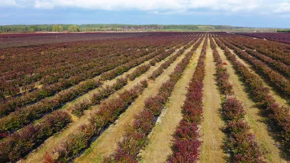 Thumbnail for Flying Past the Rows of Blueberry Bushes in the Fall. Autumn Shades of Berries, Red, Burgundy
