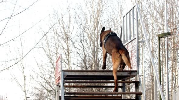 Thumbnail for A German Shepherd Dog Walking Up on the Top of the Stairs and Sitting There